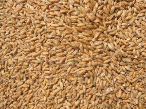 Wheatgrass benefits from grain